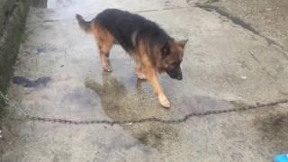 Встретил умную собаку ( немец )