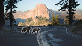 ADORABLE BABY BEAR CUBS IN YOSEMITE!!