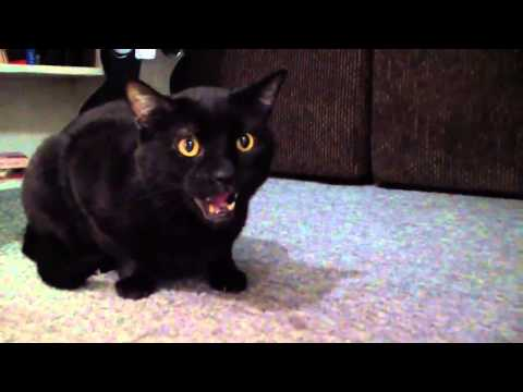 Talking Kitty   Demon Cat 2013