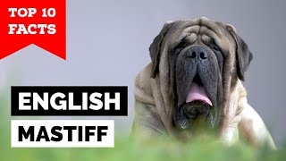 English Mastiff  Top 10 Facts