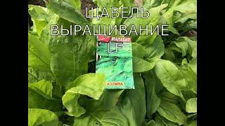 Щавель. Посев и выращивание. Что нужно знать + рецепт из щавеля.Видео обзор.