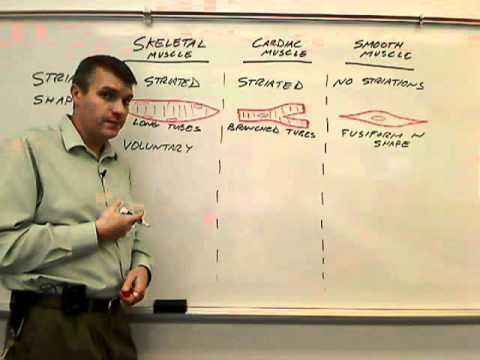 Compare And Contrast Types Of Muscle Tissue Cells Wmv