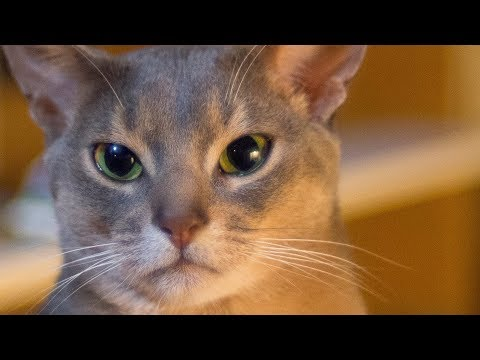 Puah in the Morning Abyssinian Blue cat
