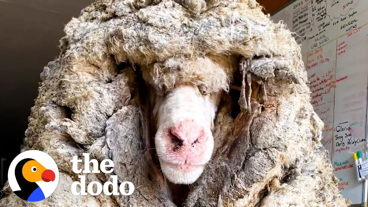Sheep Covered In 80 Pounds Of Wool Makes Most Amazing Transformation  | The Dodo Faith = Restored