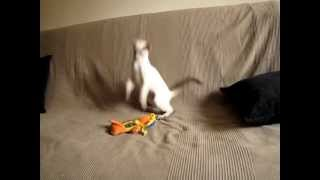 Сиамский котенок развлекается
