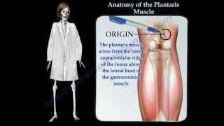 Anatomy Of The Plantaris Muscle - Everything You Need To Know - Dr. Nabil Ebraheim