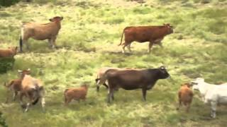 Des vautours et des vaches