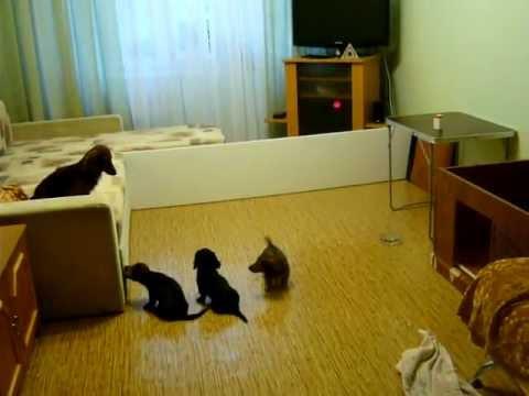 миниатюрная длинношерстная такса и ее щенки
