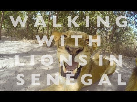 Walking with Lions in SENEGAL