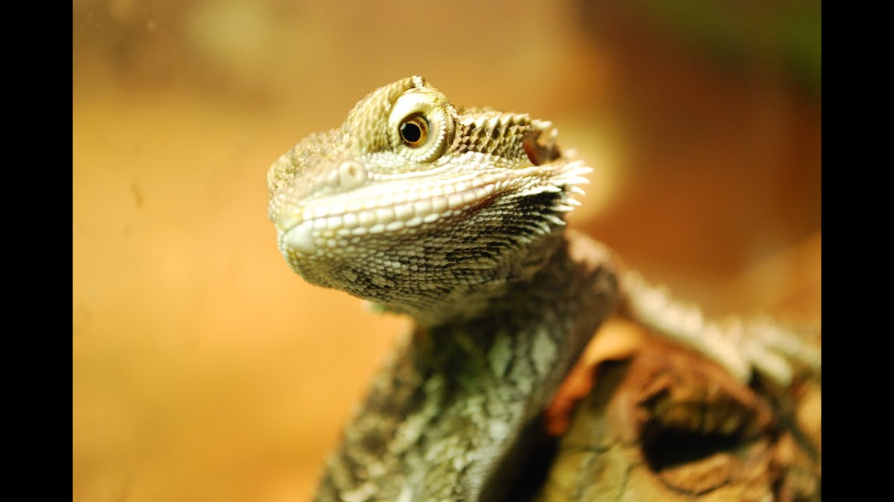Baby bearded dragon eating (Pogona Vitticeps) - YouTube