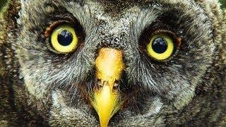 Cовы. Owls.
