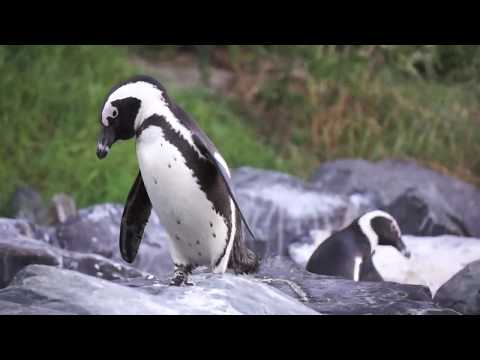 CUTE African Penguins March at Boulders Beach, Simon's Town, South Africa