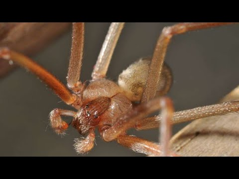 世界排名第三毒蜘蛛之隐居褐蛛,毒性太高吓坏大良,太可怕了【萌新大良】爬宠饲养