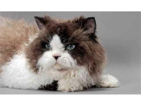Selkirk Rex cat large heavy bone cat shorthaire curly coate cat