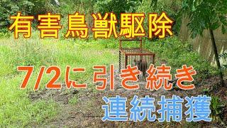 20200704イノシシ連続捕獲 Wild boar box trap