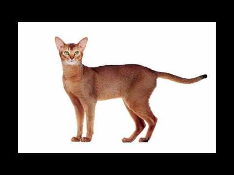 most beautiful cats / kedi cinsleri - habeş kedisi / cat breeds - Abyssinian