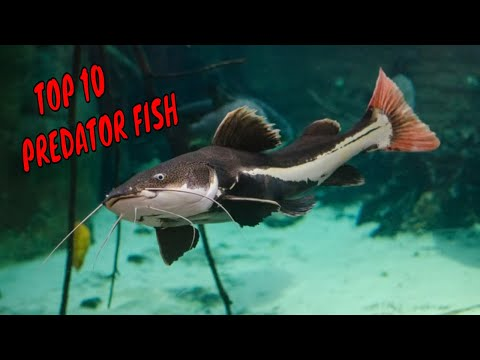 Top 10 Predator Fish For Aquarium