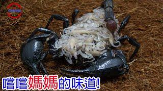 [TOP5]數個殘忍吞食母親的生物   愛你就要吃掉你   比恐龍還古老的噬母生物