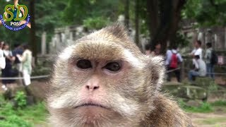 Living Nightmare Monkey - One Day At Siem Reap Angkor Cambodia