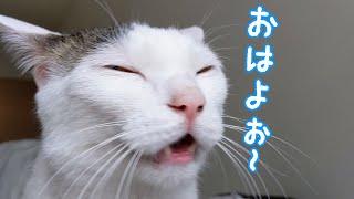 寝ぼけてても「おはよ」を言ってくれるお喋り猫