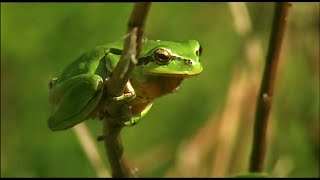 Frogs in the Forest | Creatures of the Cork Forest | BBC