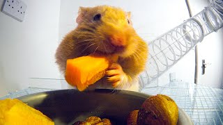 THIS Is How Hamsters Fit So Much Food Inside Their Cheeks! | Pets: Wild At Heart | BBC Earth YouTube Videos