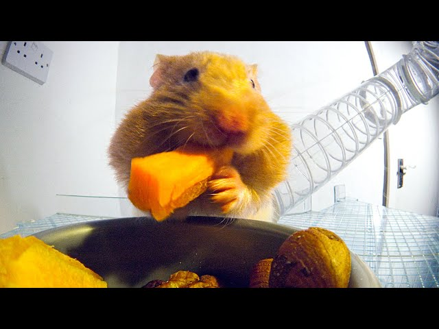 How Much Food Can Fit In A Hamster's Cheeks? | Pets: Wild At Heart | BBC Earth