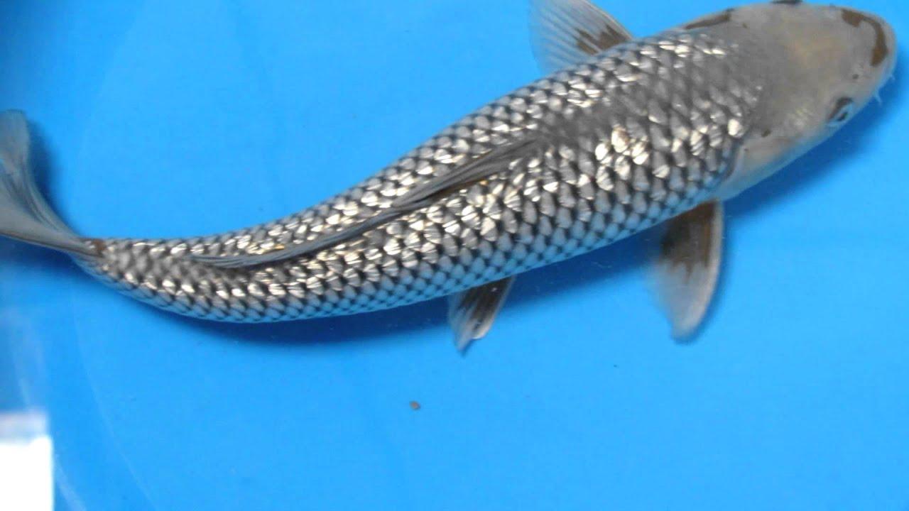 14 gin rin ochiba pond koi fish youtube for Ochiba koi fish