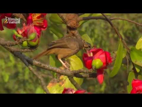 Birds of India - Silk cotton tree YouTube sharing