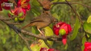 Birds of India - Silk cotton tree YouTube sharing