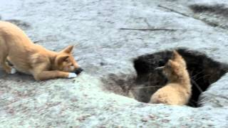 German dingo pups bark ... or do they!!!??? ;-)
