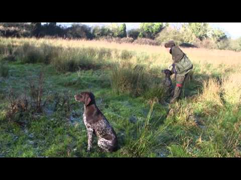 German Shorthaired Pointers picking up at driven shoot, featuring a young dog in training