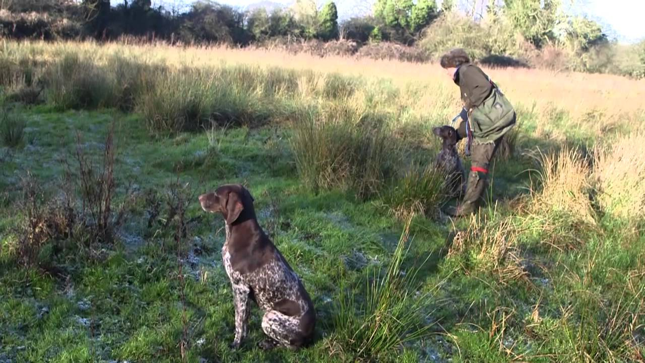German Shorthaired Pointers picking up at driven shoot, featuring a ...
