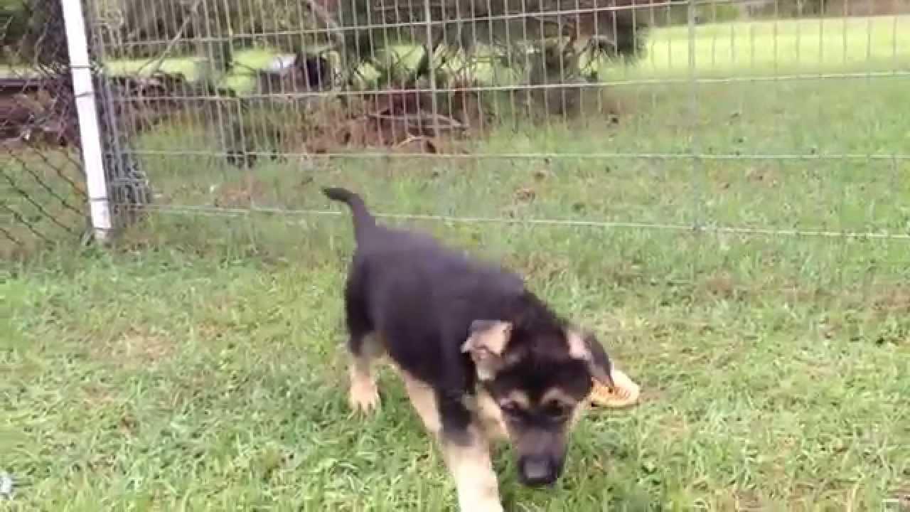 German Shepherd Puppies For Sale Florida Vom Barrons Pride Akc Born