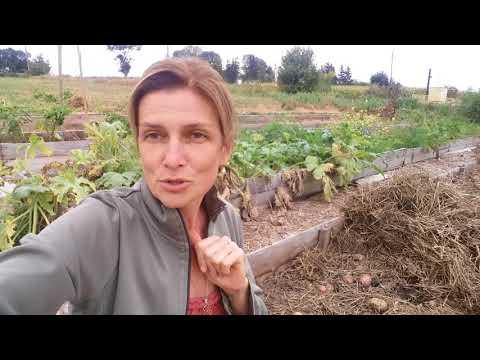 Собираем урожай картошки под соломой.