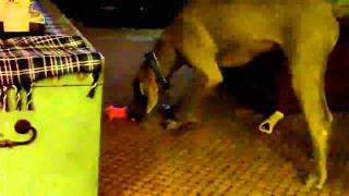 Ellie The Yorkiepoo Torments Ziggy The Weimaraner