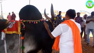 இந்த காங்கேயம் மயிலை காளையின் ஆரம்ப விலை ரூ.3,00,000 | kangayam mayilai Bull starting price 3 Lakhs