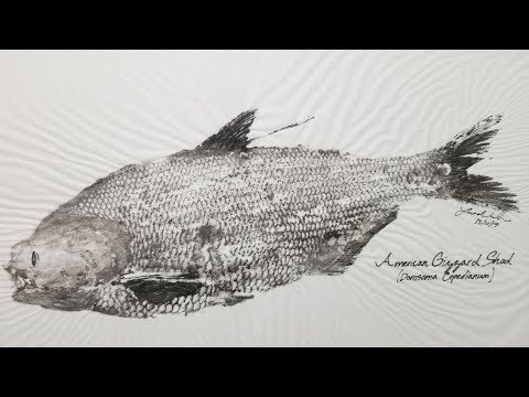 How To Mount A Fish Cheap & Easy - Gyotaku (Japanese Fish Printing) - Fish Taxidermy