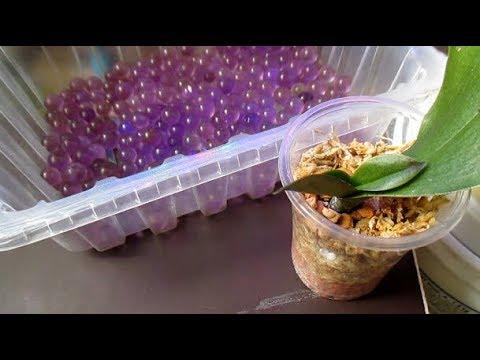 Реанимация орхидеи на гидрогеле. Итог, спустя 6 месяцев!