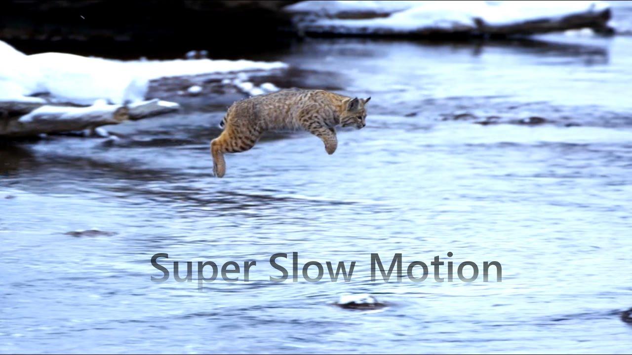 """Résultat de recherche d'images pour """"Jumping Bobcat."""""""
