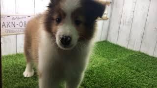初めての撮影です 全国優良ブリーダーの子犬紹介サイト『みんなのブリー...
