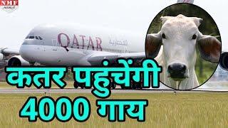 australia और usa स 60 flights म load ह कर qatar पह च ग 4000 cow