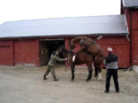 dyr parring heste