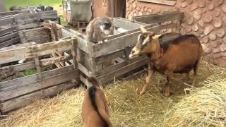 Cat VS. Baby Goat Cute!