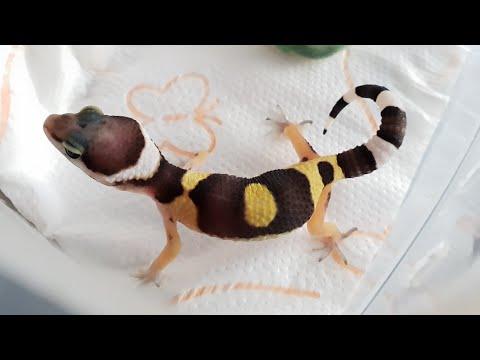 Как пищит геккон? Маленький грозный эублефар