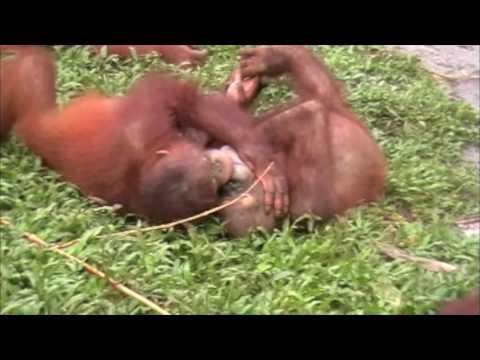Orangutans for Valentines