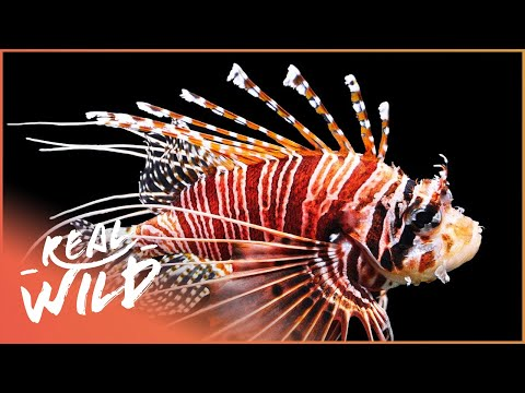 The Red Lionfish Of Cayman Islands | 1000 Days For The Planet | Real Wild