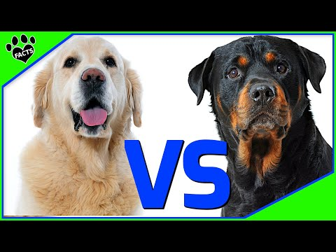 Golden Retriever Vs Rottweiler – Which Is Better? Dog vs Dog