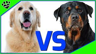 Golden Retriever Vs Rottweiler  Which Is Better? Dog vs Dog