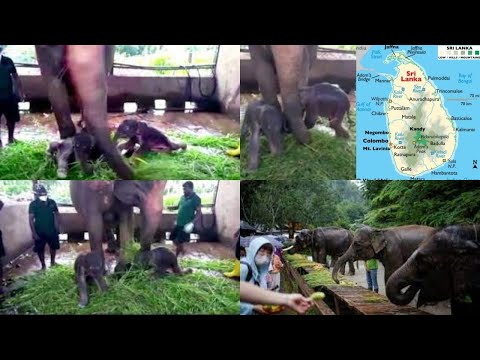 Twin elephants born in Sri Lanka for the first time in 80 years; video surfaces